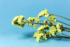 plant flower bloom blossom flora dry flowers yellow blue cyan background Stock Photo
