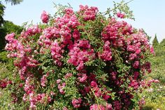 Picture Of Beautiful Large Flowering Bushes