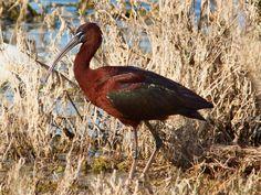 The Glossy Ibis - Photo by Gabriele Iuvara - Wikimedia