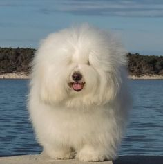 Oh, the fluffiness! Coton de Tulear puppy