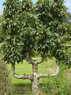 An old espalier Anjou pear tree