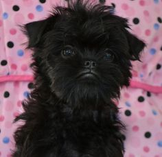 I've always wanted an affenpinscher... I can't get over their faces!!