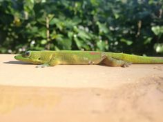 cute little day gecko