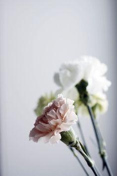 carnation...