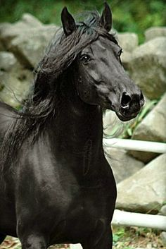 Murgese stallion, Adone. photo: Valeria Bonelli.