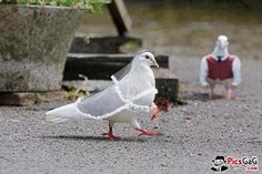 Pigeon Wedding Cute Funny♡❤