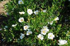 Flowering Plant for Sun White Spotted Rock Rose Butterfly Plants Showy White Hardy Shrub Drought Tol Dry Garden, Garden Shrubs, Evergreen Flowering Shrubs, Mediterranean Plants, Monrovia Plants, Rock Rose, Butterfly Plants, Plant Catalogs, Sun Plants
