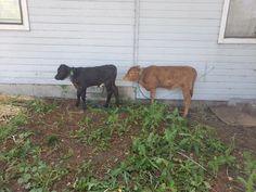 Baby Cows, Cattle, Calves, Treats, Recipes, Animals, Education, Longhorns, House Plans