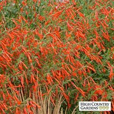 arizonica Sky Island Orange: An especially graceful selection of Hummingbird Trumpet, Zauschneria canum var. arizonica 'Sky Island Orange' blooms in early fall with hundreds of long, bright orange nodding tubular flowers. Flowers Perennials, Planting Flowers, Fall Perennials, Shade Garden, Garden Plants, Water Plants, High Country Gardens, Heuchera, Arte Floral