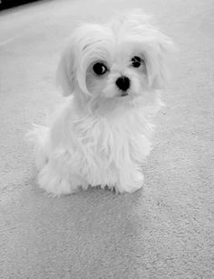 Baby Maltese. Reminds me of my late dog Sandy. Not sure if I'll get another Maltese. Yet they are irresistible.