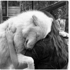 """This Artic Wolf """"Kyra"""" lives at the Big Oak Wolf Sanctuary and he loves Kristin one of their amazing volunteers. This Artic Wolf """"Kyra"""" lives at the Big Oak Wolf Sanctuary and he loves Kristin one of their amazing volunteers. Animals And Pets, Baby Animals, Funny Animals, Cute Animals, Wild Animals, Beautiful Creatures, Animals Beautiful, Wolf Love, Beautiful Wolves"""