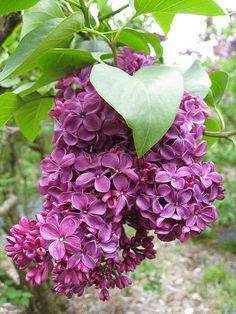 Purple Lilac / New Hampshire State flower