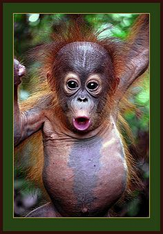 WORLD ORANGUTAN DAY.....SAY NO TO PALM OIL!!!