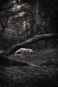 White Wolf running, perfect shutter speed shot, wad if ....zoom it closer for improvement ... hmm