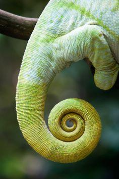 Chartreuse - chameleon closeup