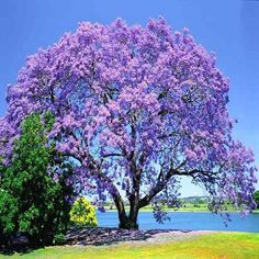 """Blue Jacaranda , Jacaranda mimosifolia more often known simply as the """"Jacaranda"""", is a sub-tropical tree native to South America that has been widely planted elsewhere because of its beautiful and lo"""