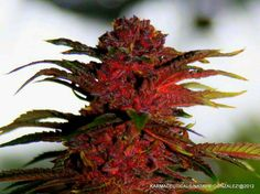 """""""Karma's Purple Kush. Photo by Natalie"""" .. sacred, essential healing .. made with love and beauty by God. ~ღ"""