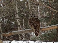 how beautiful! Spotted Owl, How Beautiful, Amazing Nature, Pet Birds, Ontario, Kittens, Scenery, Wildlife, Canada