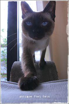 猫 cat แมว ไทย アンティークタイキャットAntique Thai Cats シャム猫 Siamese วิเชียรมาศ タイ Thailand                                                                                                                                                      もっと見る