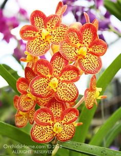 Extraordinary Orchids...'Bangsai Queen'  Bernard - you have to plant these - I need to paint one.
