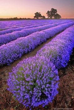 Miles and miles of lavender fields, in the Provence region of France. I want to go back