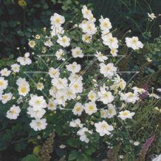 Anemone hyb. 'Honorine Jobert'