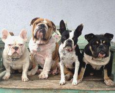 Bulldogs on a Bench!  All rescues :) https://www.facebook.com/roadogsandrescue