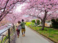 Melihat pemandangan hanami sakura di Kawazu Izu