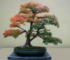 proflowers juniper bonsai