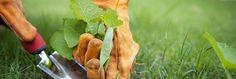 Astuces pour désherber sans polluer : désherbant naturel avec purin d'orties, angélique, sarrasin, jus de pomme de terre anti-mauvaises herbes, désherbant bio