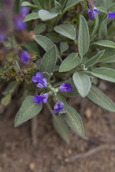 Sálvia em flor - horta orgânica Sitio do Moinho