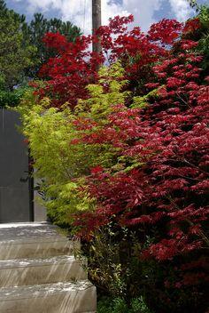 Acer Palmatum Atropurpureum Acer Palmatum Seyriu