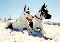 Fiesta and Corbu sunning themselves on the beach Mans Best Friend, Best Friends, Harlequin Great Danes, Gentle Giant, Animal Quotes, I Love Dogs, Dog Breeds, Cute Pictures, Dog Cat