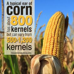 Did you know: An ear of corn has about 800 kernels. Agriculture Facts, American Agriculture, Showing Livestock, Ears Of Corn, Did You Know Facts, Fair Projects, Ffa, Future Classroom, Trivia