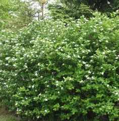 Aronia prunifolia, koristearonia.