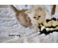 Anne Altından yavru iran kedisi (petshop değilim)