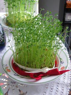 La mia cucina persiana: Sabze - Come far crescere i germogli per il Capoda...
