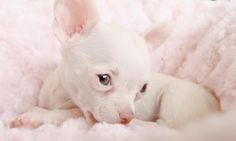 Gorgeous White Chihuahua Puppy