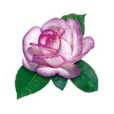 Róża wielkokwiatowa - Rosa 'Rose Gaujard'