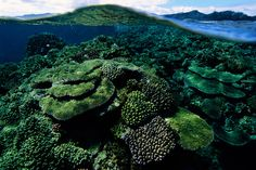 Great Astrolabe Reef, Kadavu Island, Fiji Hard corals on the reef top