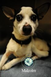 Malcolm is an adoptable Chihuahua Dog in Joplin, MO. I am currently available for adoption at the Animal Adoption and Resource Center in Joplin, MO. ...