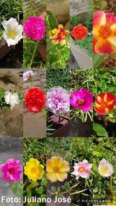 Coleção de flores onze-horas!! - Jeito de Casa - Blog de Decoração