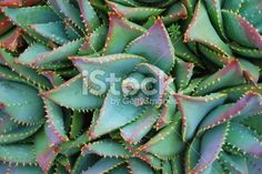 Close up of an Aloe Brevifolia plant in soft focus. Royalty Free Stock Photo
