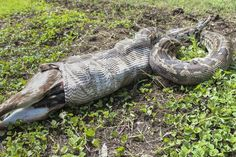The tiger python just consumed the antelope - near Billa, India. - 3