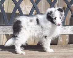 I want another sheltie one day...