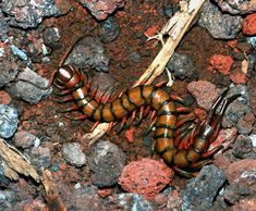 Giant Centipede (Scolopendra subspinipes) in Hawaii Kayla if I live long enough I will go Scolopendra Hunting in my life time Im not A f R a I d dAd