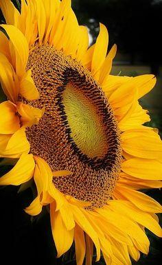 What a big, beautiful sunflower :-) #fieldforhope