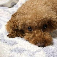 ❤︎ ㅤㅤㅤㅤㅤㅤㅤㅤㅤㅤㅤㅤㅤ 耳に火傷のような跡があって心配で動物病院へ🏥🐶 ㅤㅤㅤㅤㅤㅤㅤㅤㅤㅤㅤㅤㅤ とりあえず様子見です😢 ㅤㅤㅤㅤㅤㅤㅤㅤㅤㅤㅤㅤㅤ ワクチンは問題なく注射してもらえたけどワクチン接種後はしばらく元気がない🙈💧 ㅤㅤㅤㅤㅤㅤㅤㅤㅤㅤㅤㅤㅤ 毎年のことだけど見てるこっちはつらい😭 ㅤㅤㅤㅤㅤㅤㅤㅤㅤㅤㅤㅤㅤ #トイプードル #愛犬 #犬のいる暮らし #癒し #といぷー #プードル #男の子 #ふわもこ部  #toypoodle #dogstagram #doglover #myprince #instapoodle #instagood