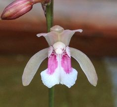 Orchid: Oeceoclades maculata -  Flickr - Photo Sharing!