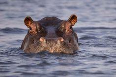 Flusspferd (Hippo) in Chobe NP